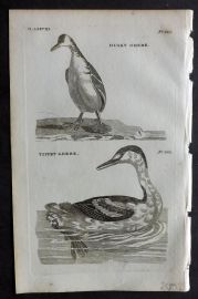 Pennant 1776 Antique Bird Print. Dusky Grebe, Tippet Grebe